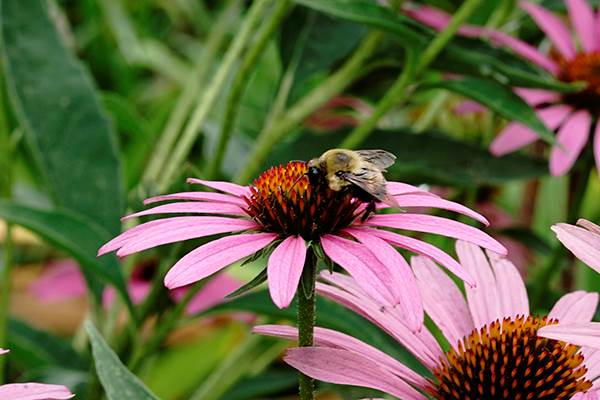 Bee pollinating a coneflower