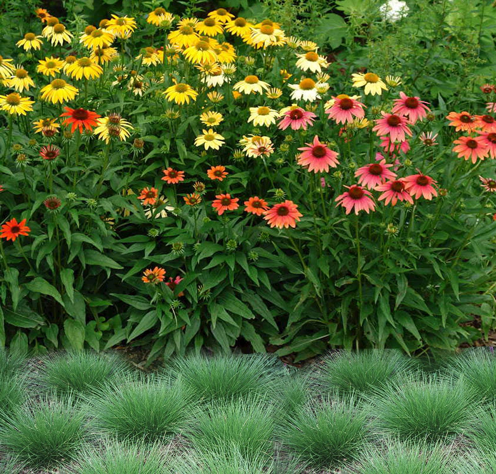 Coneflower and Dropseed work well together