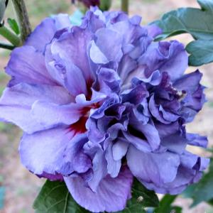 purple hibiscus test