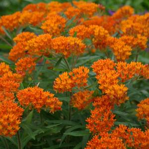 Product Catalog | Butterfly Weed | Designer Landscapes, Central, IL