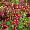 perennials (Coreopsis 'Red Satin)