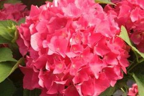 Our Favorite Hydrangeas